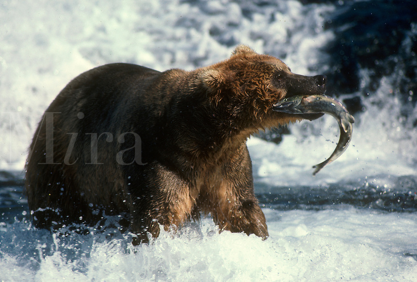 A brown bear pulls a chum salmon out of the McNeil River at the McNeil River State Game Sanctuary in southcentral Alaska.