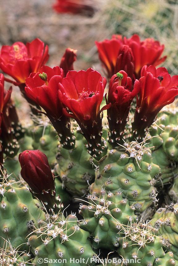 Flowering Echinocereus triglochidiatus v. inermus Spineless Claret cup cactus