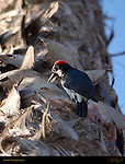 Acorn Woodpecker on Palm Tree Southern California