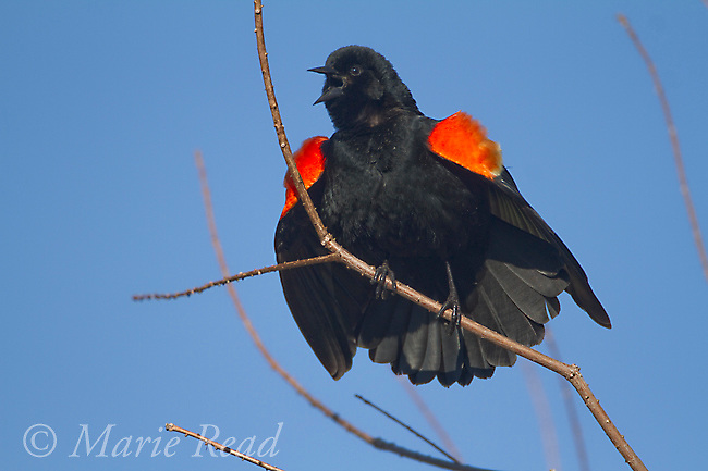 Red-winged Blackbird (Agelaius phoeniceus), male singing and displaying in spring, Ithaca, New York, USA