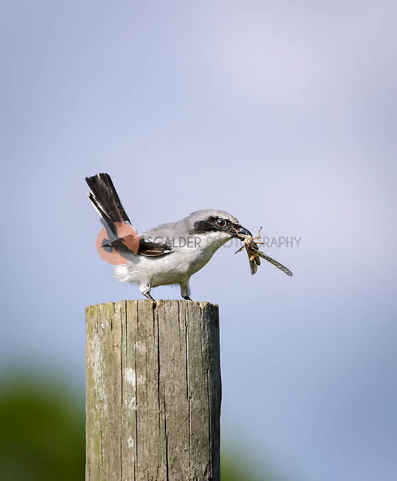 Loggerhead Shrike with grasshopper in beak, perched on fence post
