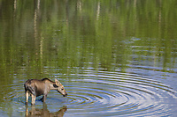 Yearling moose feeds on aquatic grasses, Denali National Park, Alaska