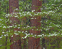 Yosemite National Park, Ca<br /> Dogwood (Cornus florida) blooming in forest understory in Yosemite Valley
