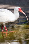 The White Ibis is the most numerous of the wading birds in Florida.