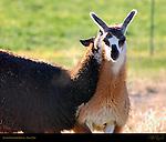 Llama Courtship Ritual, Female Bites Male, Loa, Utah