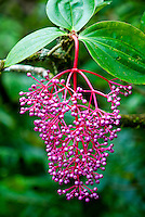 Medinilla speciosa, common name Showy Asian Grapes, is a perennial epiphytic plant in the genus Medinilla, belomging to the Melastomataceae family. Mt Kinabalu, Sabah - Borneo Malaysia.