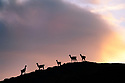 Adult guanacos (Lama guanicoe) in silhouette at sunset. Torres del Paine National Park, Patagonia, Chile.