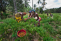 BRAC PROJECT, Agricultural workers in the swamp in Mafinda. Each woman has her own little plot of land to grow maize, peppers, tomatoes, with seeds, watering can & training from BRAC.