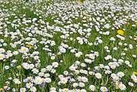 DAISY Bellis perennis (Asteraceae) Height less than 10cm<br /> Familiar, downy perennial found growing in lawns and other areas of short grass. FLOWERS are borne in solitary heads, 15-25mm across, on slender stems; they comprise yellow disc florets and white (often faintly crimson-tipped) ray florets (Mar-Oct). FRUITS are achenes. LEAVES are spoon-shaped and form prostrate rosettes from which flower stalks arise.