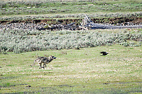 Wolf Chasing a Raven, Lamar Valley, Yellowstone National Park
