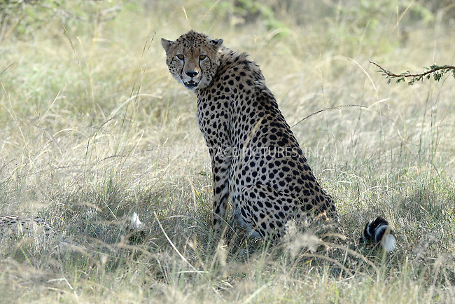 WWW.ACEPIXS.COM<br /> March 6, 2016 New York City<br /> <br /> Cheetah in Maasai Mara National Reserve on March 6, 2016 in Kenya.<br /> <br /> Credit: Kristin Callahan<br /> web: http://www.acepixs.com