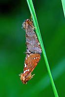 Heidekraut-Wurzelbohrer, Paarung, Kopula, Kopulation, Phymatopus hecta, Phimatopus rufa, Hepialus decorata, Gold Swift, Wurzelbohrer, Hepialidae, swift moths, ghost moths