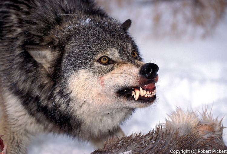 Timber or Grey Wolf, Canis Lupus, Minnesota  USA  .head study showing aggressive behaviour, guarding kill, snarling, growling, baring teeth, staring eyes, warning.USA....