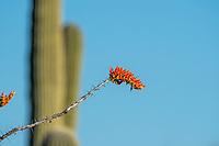 Flowers of Ocotillo, Fouquieria splendens, in Saguaro National Park, Arizona