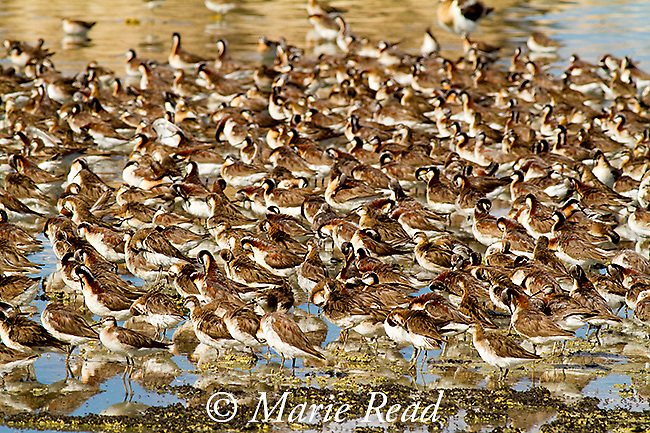 Wilson's Phalaropes (Phalaropus tricolor), flock, Mono Lake, California, USA