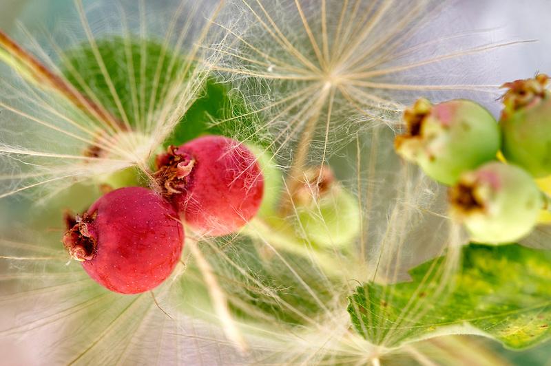 Seeds of Yellow Salsifye with Serviceberry berries. Lake Tahoe. California