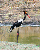 Saddle-Billed Stork female, South Luangwa NP, Zambia