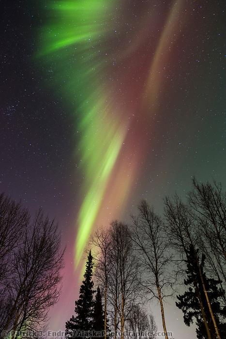 The aurora borealis hovers over birch trees in Fairbanks, Alaska.