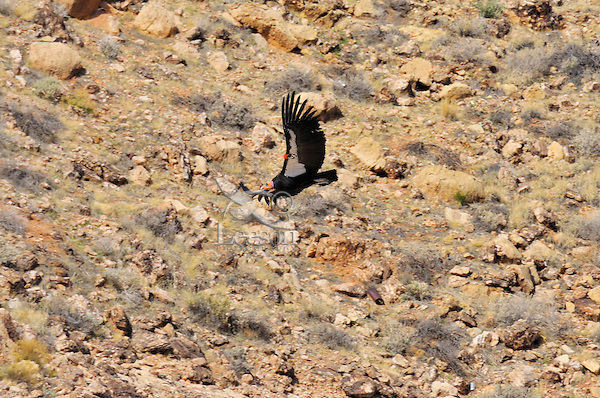 California Condor (Gymnogyps californianus) flying near Marble Canyon (Colorado River), Grand Canyon National Park, Arizona.