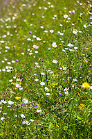 Alpine flower meadow in the Swiss National Park, the Swiss Alps, Switzerland
