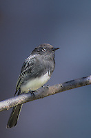 571003007 a wild black phoebe songbird sayornis nigricana perches on a tree limb in santa barbara county california
