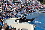 Captive orca and trainer at Sea World in San Diego