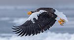 Japan, Hokkaido, Steller's sea eagle (Haliaeetus pelagicus)