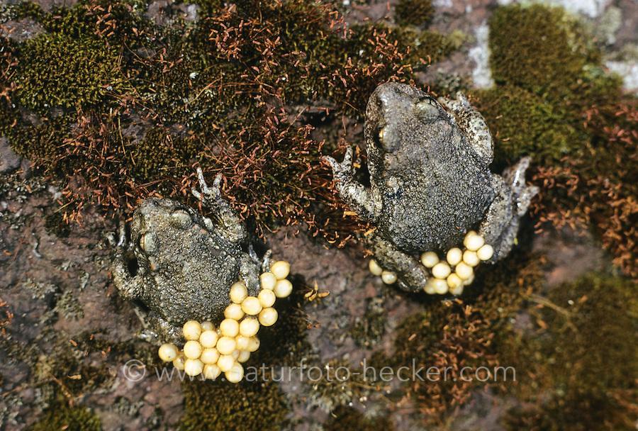 Gewöhnliche Geburtshelferkröte, Nördliche Geburtshelferkröte, Männchen mit Laich, Eiern, Kröte, Kröten, Alytes obstetricans, common midwife toad, male with eggs, spawn, toads