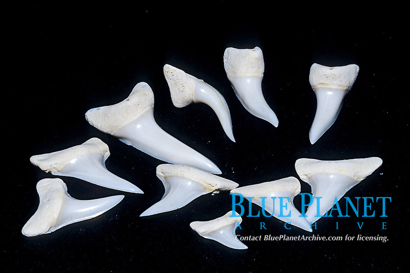 Shortfin mako, Isurus oxyrinchus, teeth, Bonin Islands, Ogasawara, Tokyo, Japan, Pacific Ocean