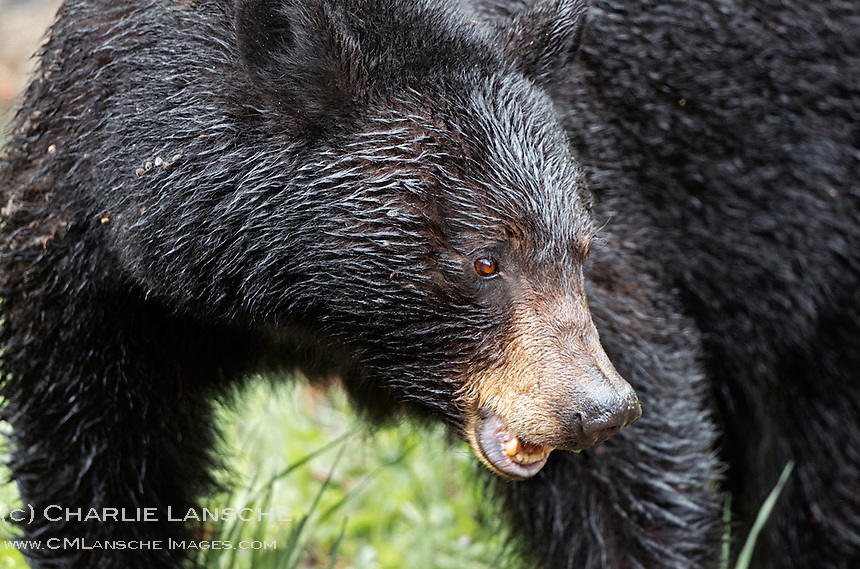 Growling bear?  Nope.  This sow black bear is chewing grass after an morning of grazing with her yearling cub along Tower Creek.