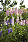 Wild Lupine Flowers, Lupinus perennis, legume, pea family