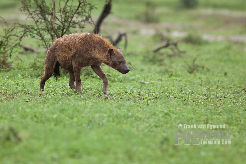 Spotted Hyena (spotted hyena (Crocuta crocuta)..Hluhluwe-Imfolozi Game Reserve, Kwazulu-Natal, South Africa. November 2010.