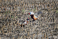 Sparring Ring-necked Pheasants, Ringneck Ranch, Tipton, Kansas