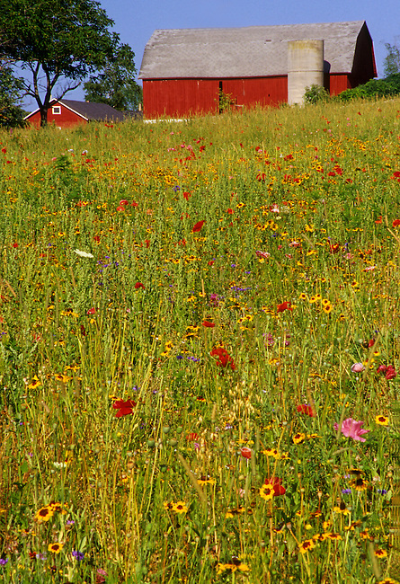 A field of poppies bloom in late summer under a barn near Fish Creek, Door County, Wisconsin