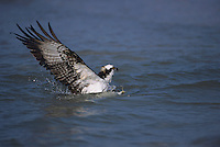 Osprey, Pandion haliaetus,adult catching fish, Sanibel Island, Florida, USA