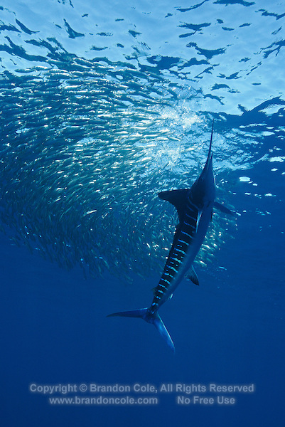 qf0479-D. Striped Marlin (Tetrapturus audax), feeding on Pacific Sardines (Sardinops sagax). Baja, Mexico, Pacific Ocean..Photo Copyright © Brandon Cole. All rights reserved worldwide.  www.brandoncole.com..This photo is NOT free. It is NOT in the public domain. This photo is a Copyrighted Work, registered with the US Copyright Office. .Rights to reproduction of photograph granted only upon payment in full of agreed upon licensing fee. Any use of this photo prior to such payment is an infringement of copyright and punishable by fines up to  $150,000 USD...Brandon Cole.MARINE PHOTOGRAPHY.http://www.brandoncole.com.email: brandoncole@msn.com.4917 N. Boeing Rd..Spokane Valley, WA  99206  USA.tel: 509-535-3489