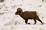 A Bighorn Ram on the move