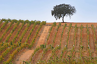 Vineyards. Oak trees. Herdade da Malhadinha Nova, Alentejo, Portugal