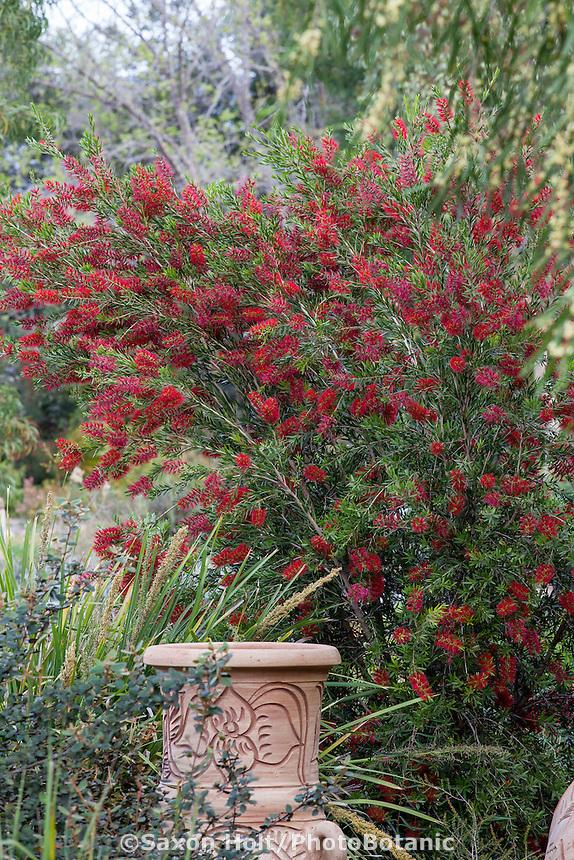 Callistemon 'Slim', red flowering shrub, Australian Native Plant Nursery, Ventura, California