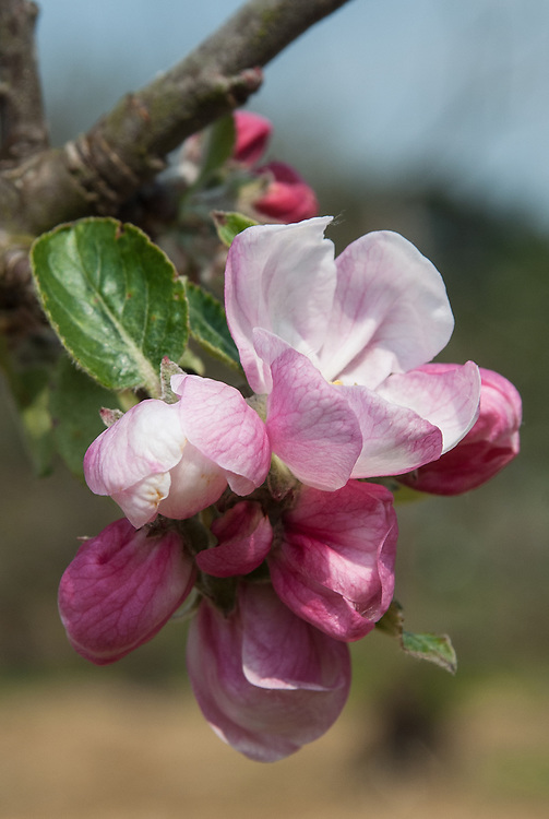 Blosom of Apple 'Yorkshire Greening', late April. An English culinary apple dating back to the 18th century. Also known as 'Yorkshire Goosesauce'.