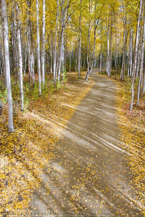 Autumn driveway through the boreal forest of birch and aspen trees, Fairbanks, Alaska