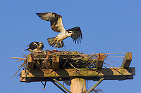 Osprey (Pandion haliaetus) male and female on nest built on man-made structure erected to prevent nesting on telephone poles. Nova Scotia, Canada.