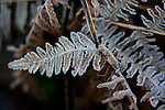 Frost covered Bracken fern.  ©2013. Jim Bryant Photo. All Rights Reserved.