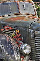 Old truck with blackberry vines in fall color. Near Wilsonville, Oregon
