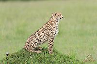 Cheetah (Acinonyx jubatus) mother in profile, Masai Mara