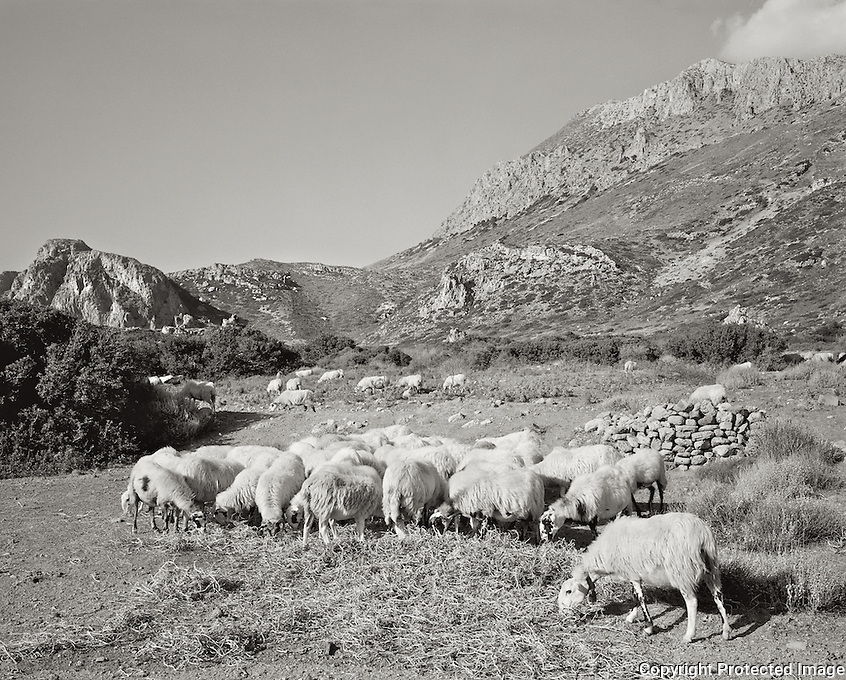 Pastoral scene in western Crete on the site of the ancient Greek city of Phalasarna which dates from the 4th century B.C.