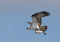 Osprey, in flight with a fish in it's talons, Tuckahoe River, Lester MacNamara Wildlife Management Area, New Jersey