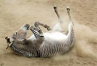 Zonkey, named Spots 'N Stripes Zane, has a zebra father and donkey mother; at Spots 'N Stripes Ranch