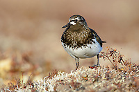 Black Turnstone (Arenaria melanocephala). Yukon Delta National Wildlife Refuge, Alaska. June.