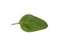 Wilder Dost, Echter Dost, Gemeiner Dost, Origanum vulgare, Oregano, Oreganum, Wild Marjoram, L'origan ou origan commun, marjolaine sauvage, marjolaine vivace. Blatt, Blätter, leaf, leaves